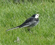 Pied Wagtail - I think