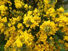 Whins or Gorse - lovely flowers but nasty thorns.