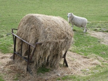 A manger of hay and a soon to be mother.