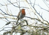 The Robin posed and sang for us.