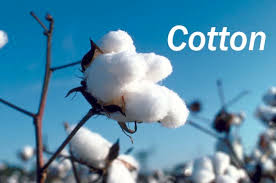 Cotton in the raw
