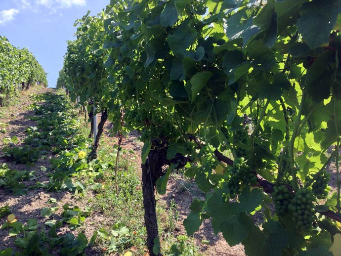 Ripped off leaves at our Silvaner