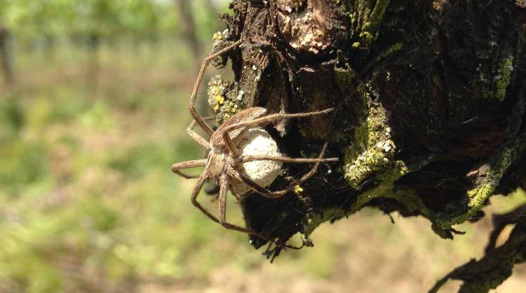 Spider carrying eggs