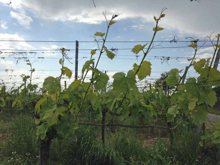Sulzfeld Regent grapevines in early June