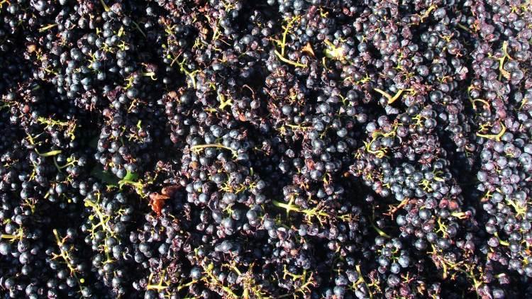 Grapes for the 2014 Große Wanderlust