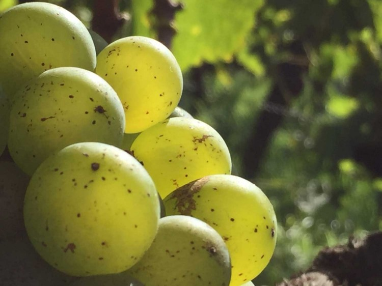 Ripe Silvaner grape