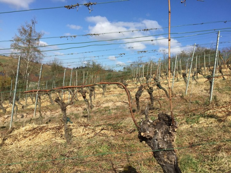 Grape vines prepared for spring