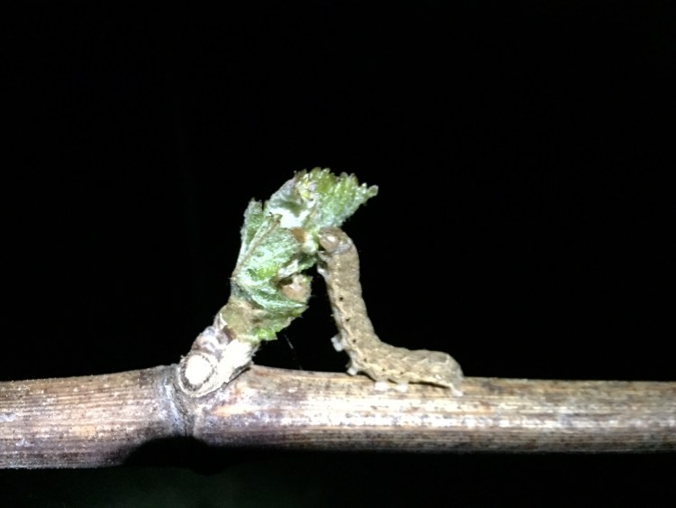 Caterpillar eating young vines