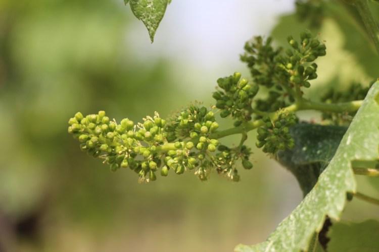 Flowering grapevine