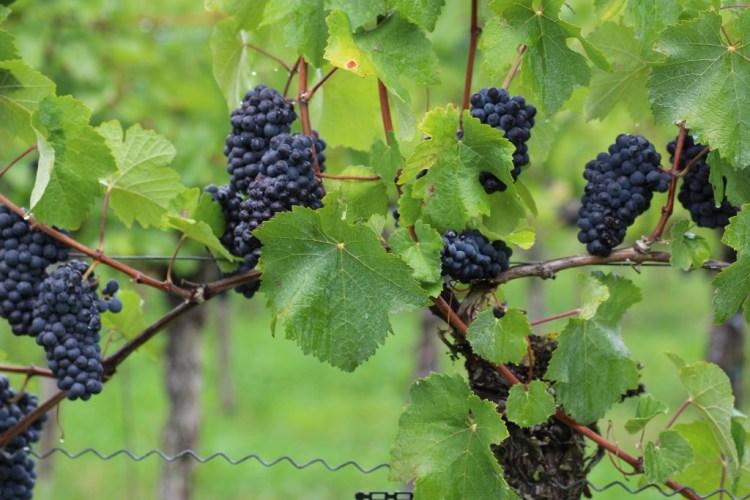 Pinot Meunier on harvest day