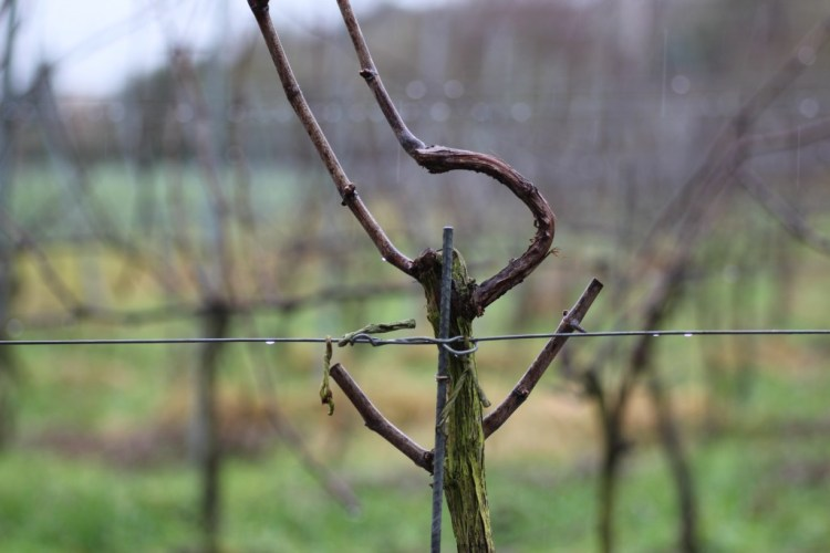 Gently pruned Pinot Gris