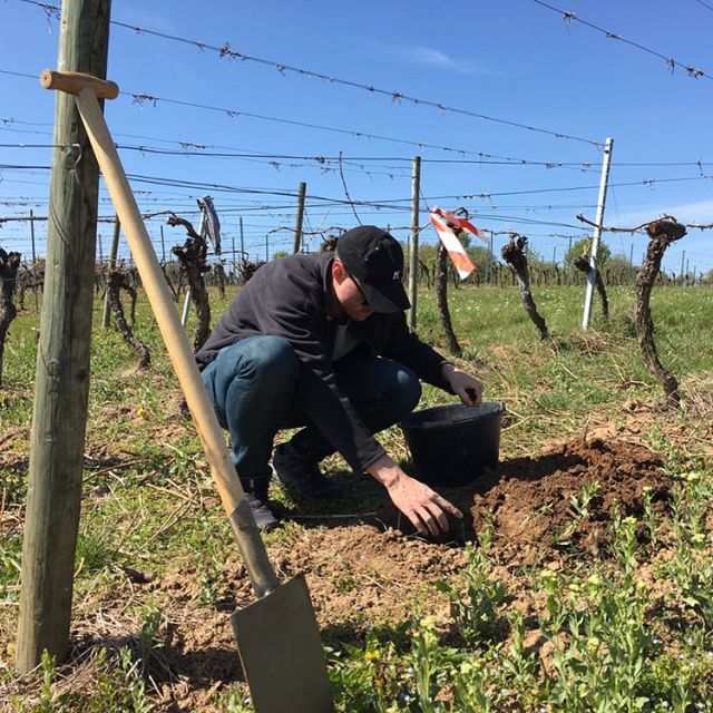 Closing a few gaps in the Bacchus vineyard on thishellip