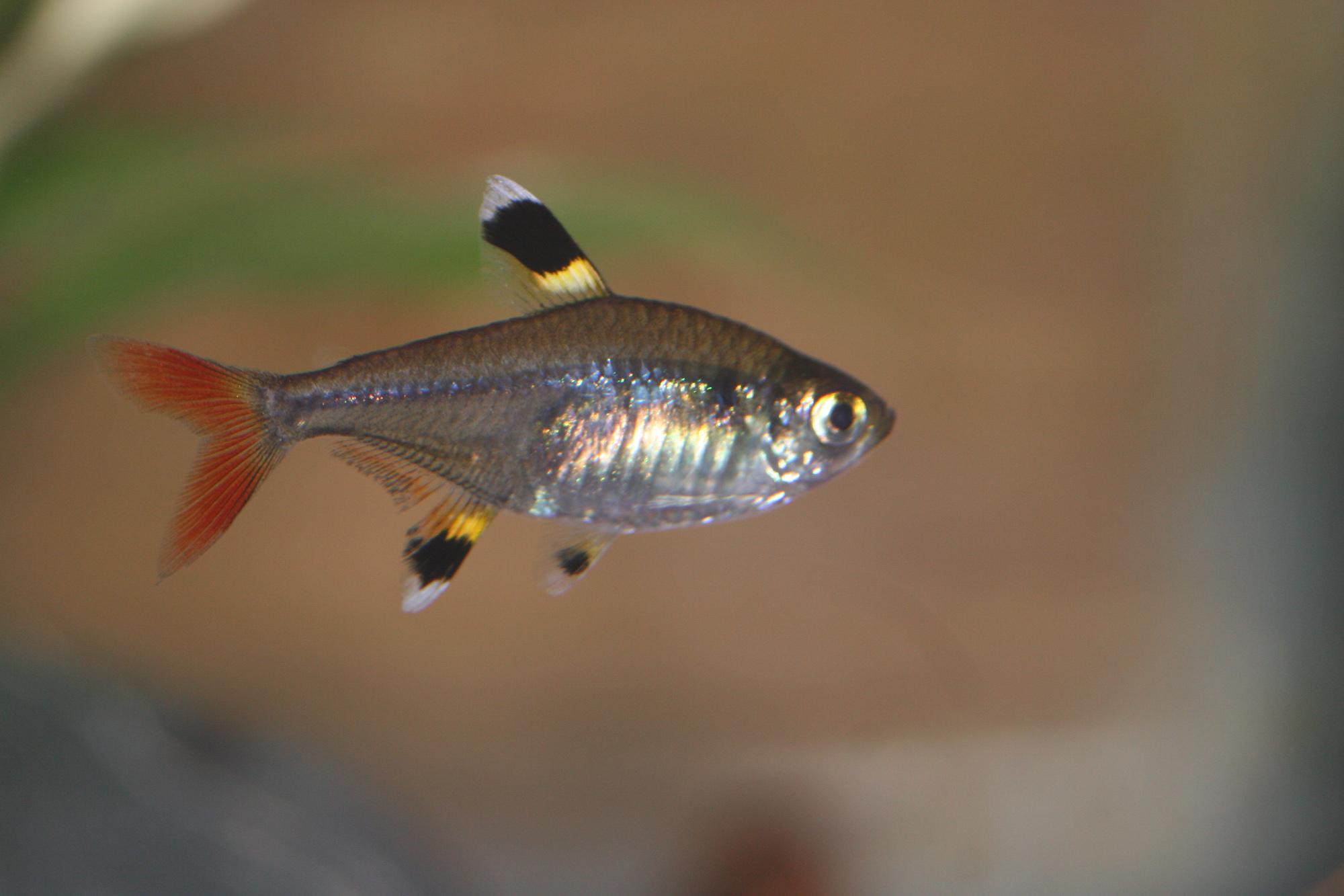 Translucent Fish Think Twice