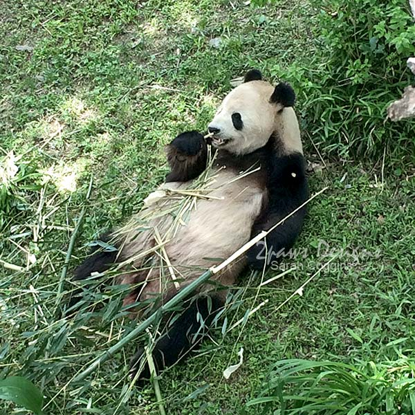 Project 52 Photos: Week 21 – Giant Panda