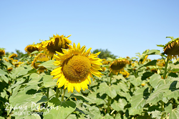 Project 52 Photos: Week 27 – Neuse River Trail Sunflowers