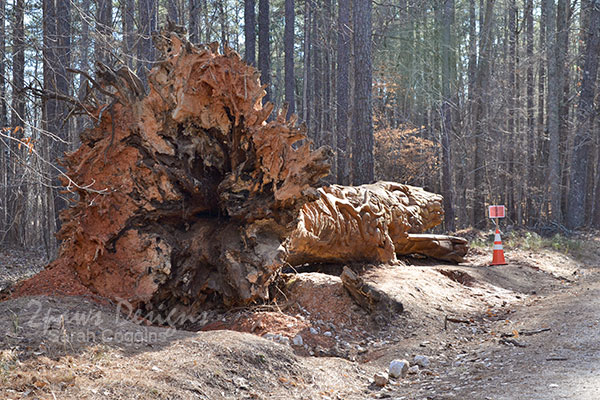 Umstead State Park Chainsaw Art: Approach