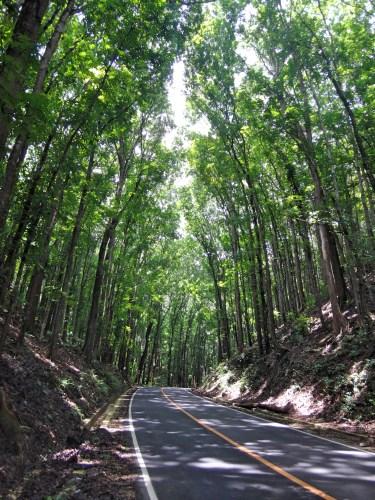 Man-made mahogany forest.