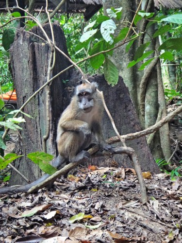A long-tailed macaque hanging out by the river.