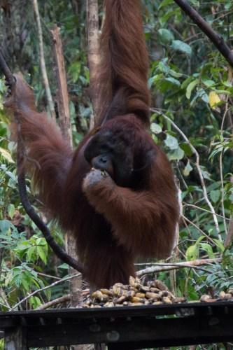 Alpha male orangutan having a snack.