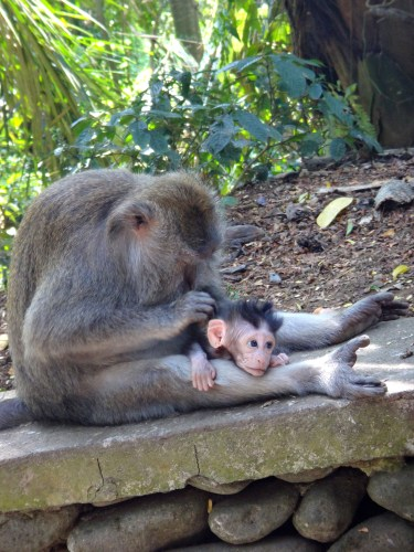 Baby monkey getting groomed.