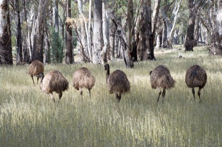 A mob of emus.