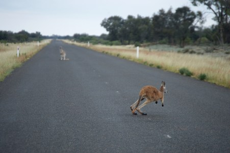 Run away kangaroo!