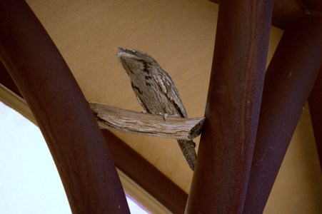 Tawny Frogmouth Owl pretending to be a branch.