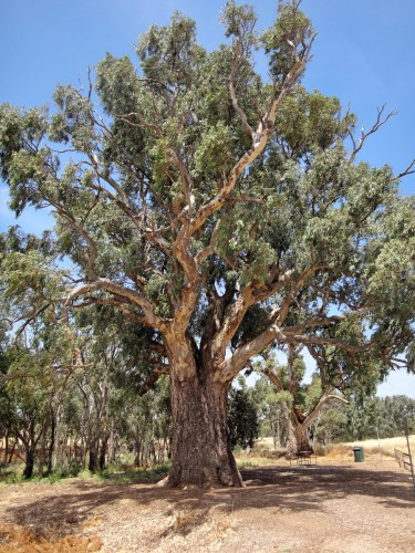 The big gum tree of Orroroo.