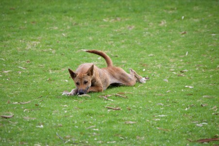 A dingo hanging out in the campground.