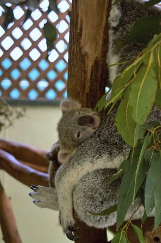 Baby koala <3.