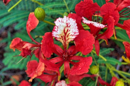Flame tree flowers.
