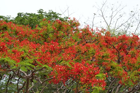 Flame trees in bloom.