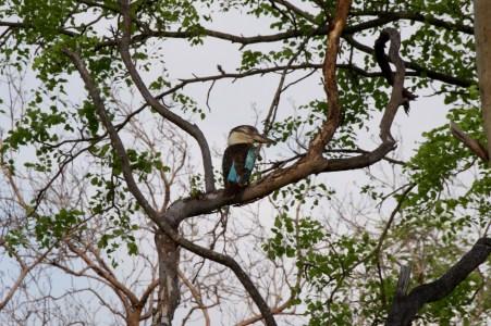 Kookaburra!
