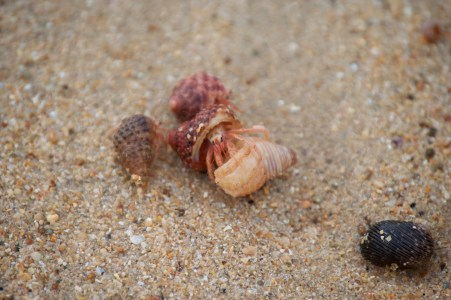 A hermit crab switching shells!