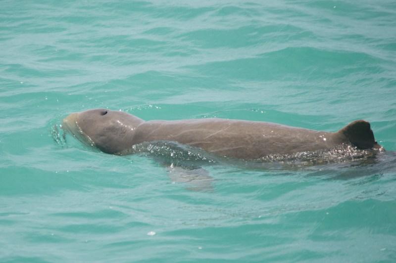 Snubfin dolphin.