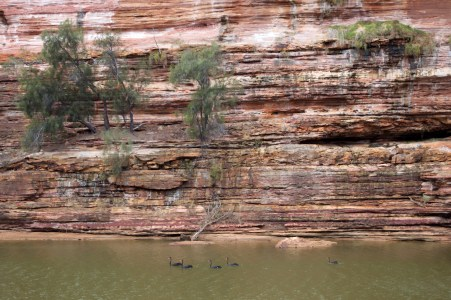 Black swans in the Murchison River.