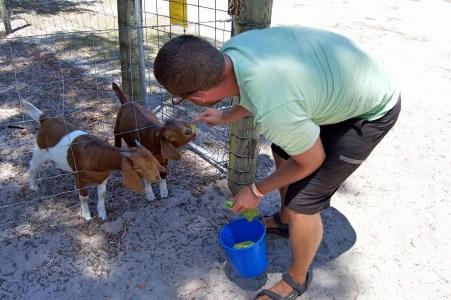 Feeding time at Sunflowers Animal Farm.