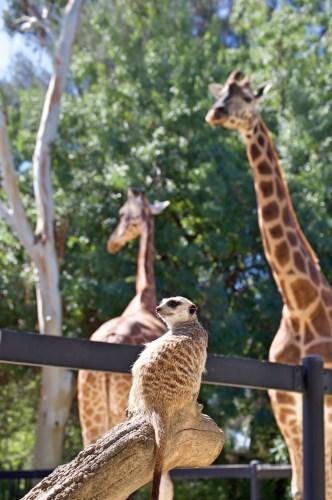 Watchful meerkat.