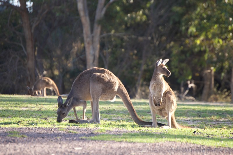 Roos in our campground.