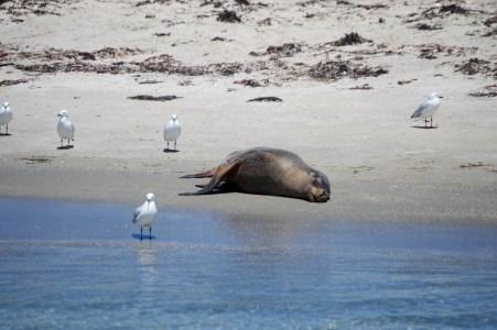 Lazy sea lion.