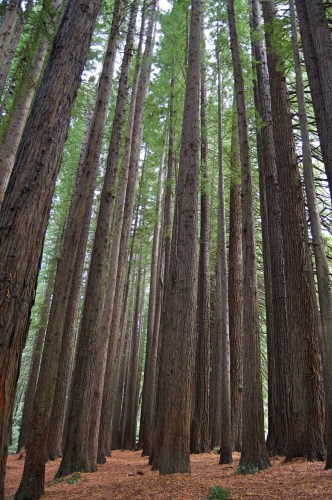 Very tall redwoods.