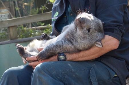 Sleepy wombat.