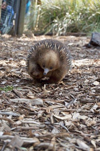 Three-legged echidna!