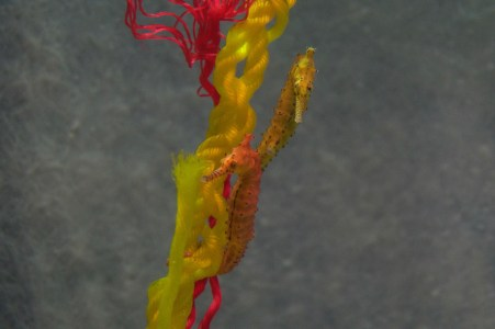Colourful seahorses.