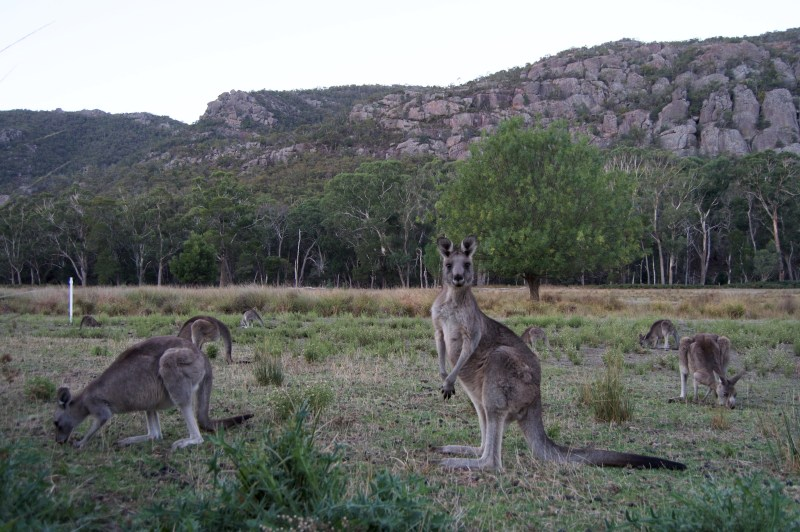 Roos in the Grampians.