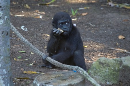 Little gorilla!