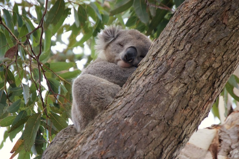 The cutest koala.