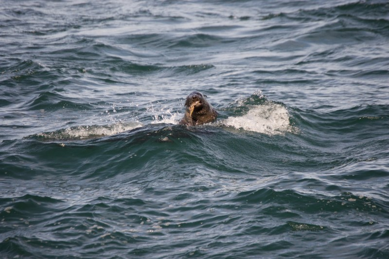 A hunting seal.
