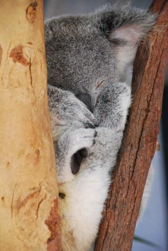 Little koala.