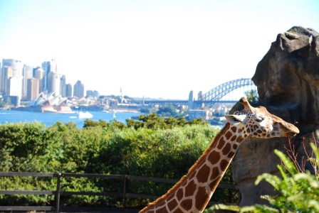 Giraffes over the harbour.